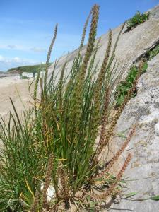 Sea Arrowgrass