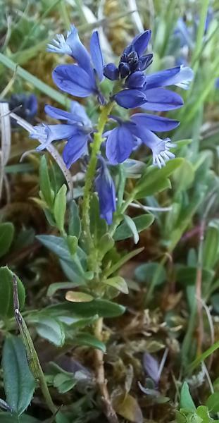 Polygala serpyllifolia