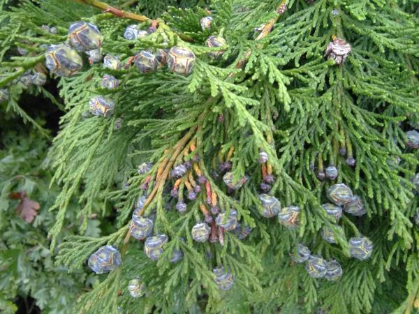 Chamaecyparis lawsoniana