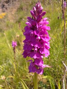 Southern Marsh Orchid