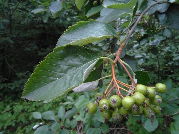Sorbus rupicola
