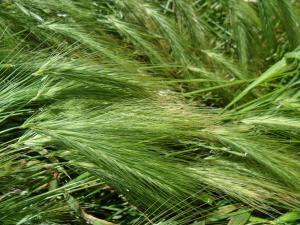 Six-rowed Barley