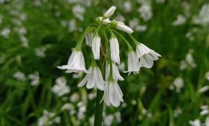 Three-cornered Garlic