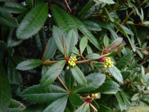 Chinese Barberry