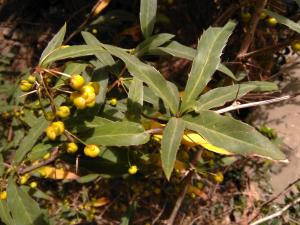 Gagnepain's Barberry