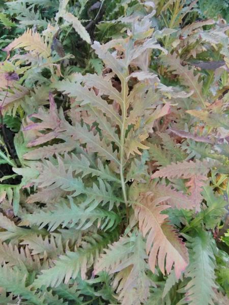 Onoclea sinsibilis
