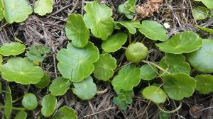Marsh Pennywort