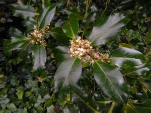Highclere Holly