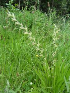 Perennial Rye Grass