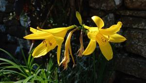 Yellow Day-lily