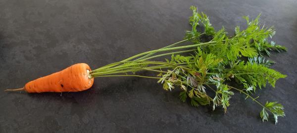 Daucus carota sativus