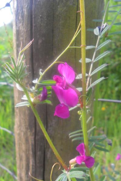 Vicia sativa nigra