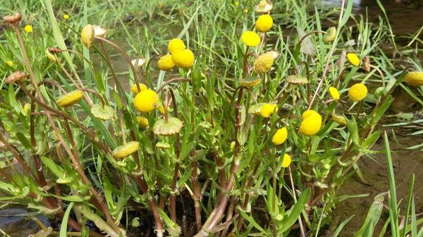 Cotula coronopifolia