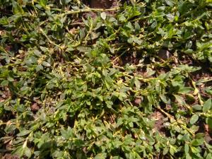 Equal-leaved Knotgrass