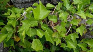 Common Ivy