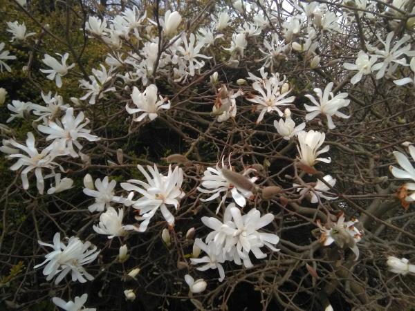 Magnolia spp.