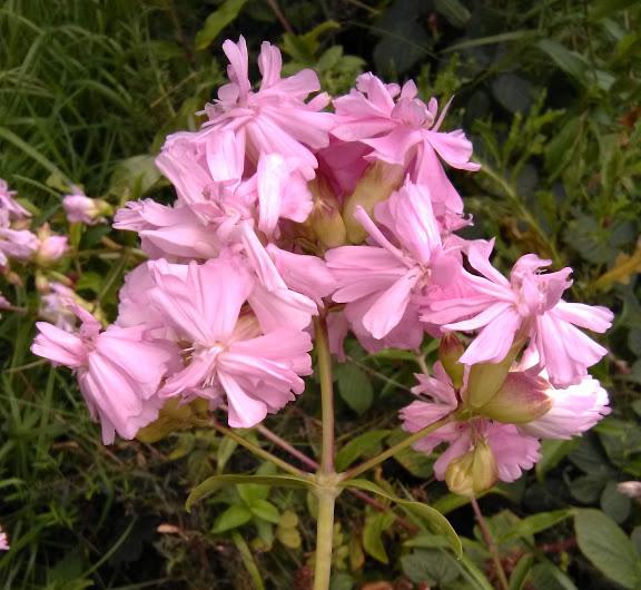 """Saponaria officinalis """"Bouncing Bett"""""""