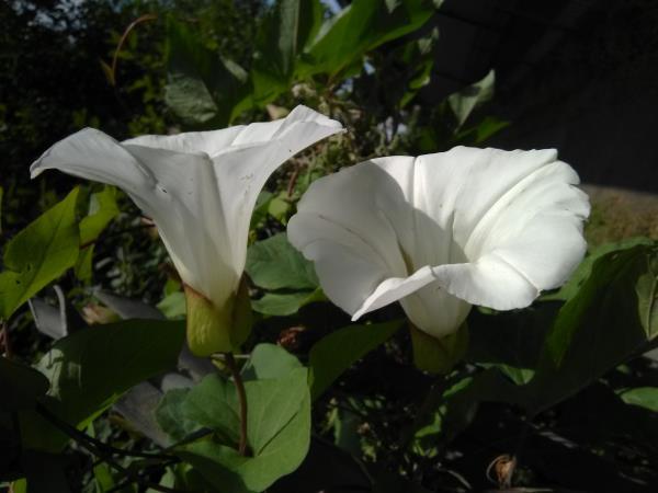 Calystegia sepium
