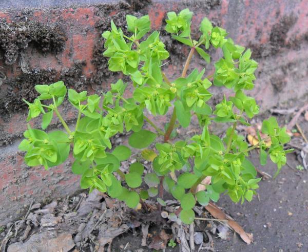 Euphorbia peplus