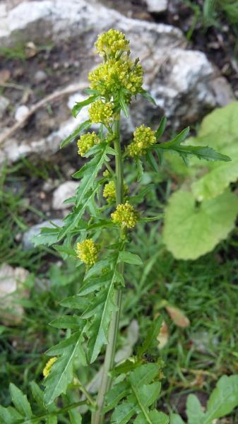 Rorippa palustris
