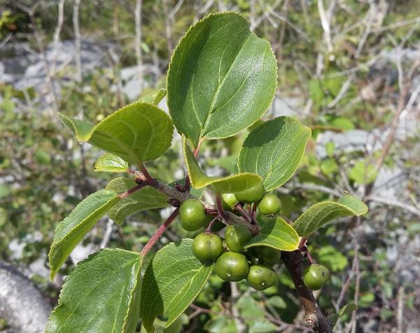 Rhamnus cathartica