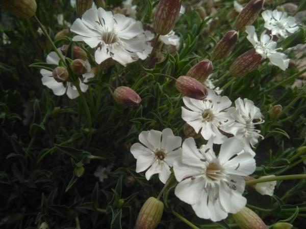 Silene uniflora
